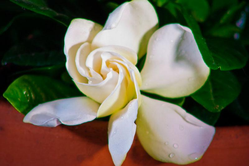 mele-web, fotografia, gardenia